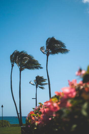 Travel Destinations Hawaii Life Hawaii Sky Plant Clear Sky Nature Growth Beauty In Nature Tree No People Tropical Climate Flower Palm Tree Day Flowering Plant Blue Outdoors Tranquility Scenics - Nature Tranquil Scene