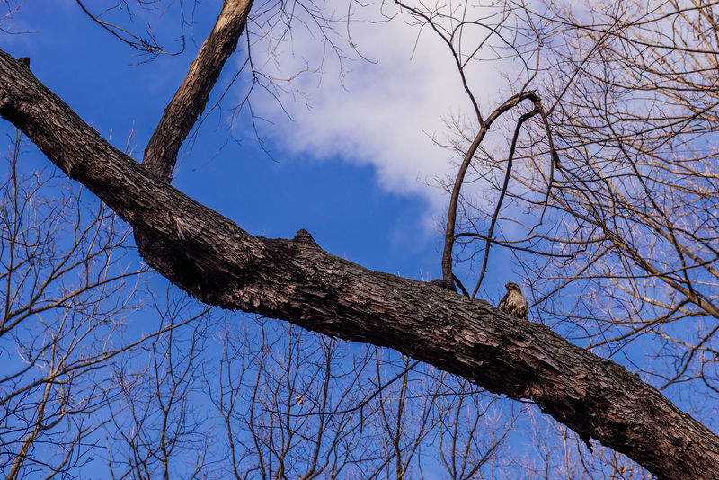 Bare Tree Beauty In Nature Branch Day Dried Plant Hawk Low Angle View Nature No People Outdoors Sky Tree Tree Trunk