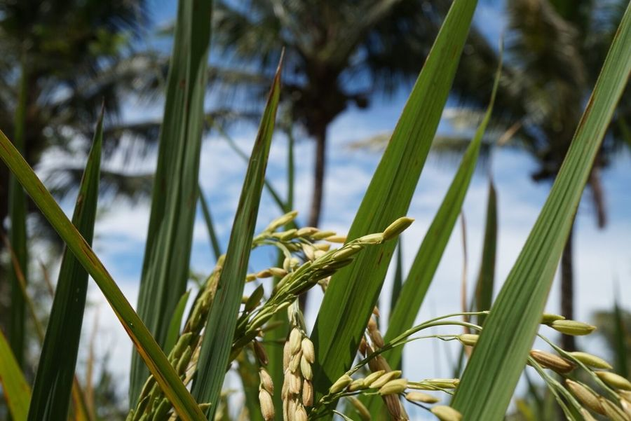 Paddies Growth Plant Nature Green Color Close-up No People Leaf Beauty In Nature Day Outdoors Pangandaran Beach Popular Photo Popular Popular Photos Paddy Field Coconut Palm Tree Coconut Coconut Trees