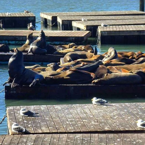 Sanfrancisco Pier39 Sealion  Sunbathing USA California Holiday
