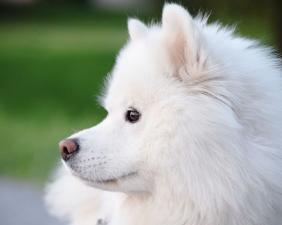 EyeEm Selects Pets Dog Animal Animal Hair Domestic Animals Portrait Purebred Dog Samoyed Sled Dog White Color Samojede Nordic Dog Puppy Breed One Animal Summer Backpack
