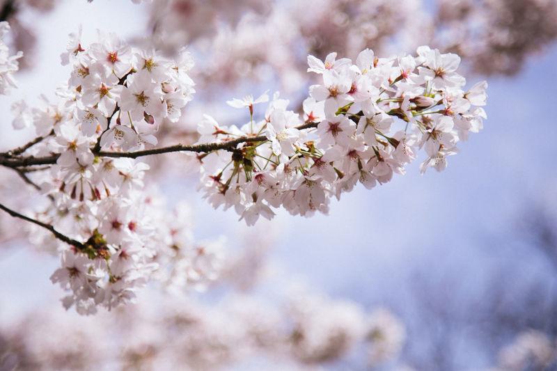 Close-Up Of Fresh Cherry Blossom Flowers