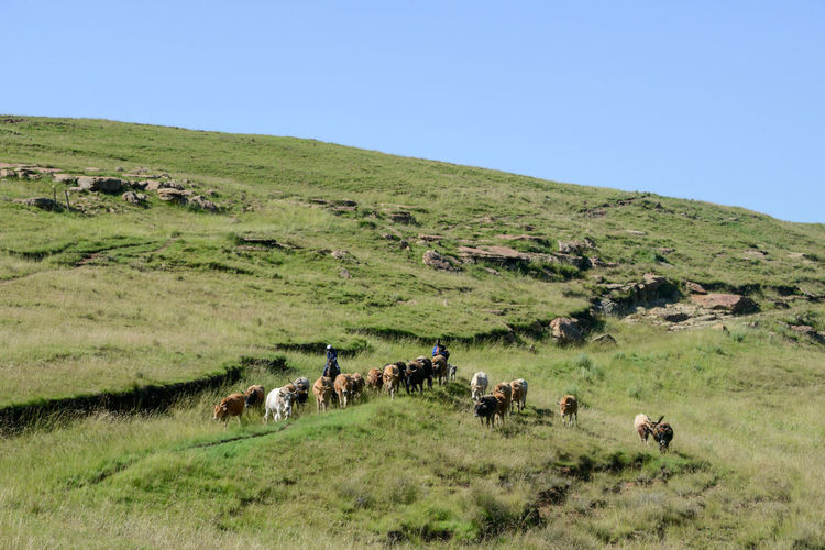 Horses grazing on field against clear blue sky