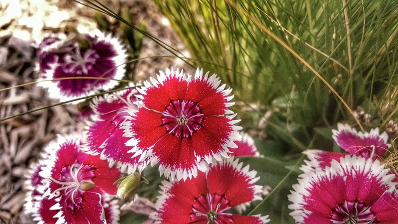 Sweet William flower. Flowers, Nature And Beauty Flower Photography Blossom Blooming Check This Out Hdrphotography Hdr Edit Hdrart Full Colors  Colorful Fountain, Colorado Followme Greatshotz Photoart Flower Collection Photos Around You Followplease Follow4follow Follow