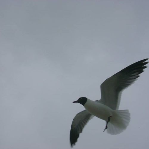 Low angle view of seagulls flying over white background