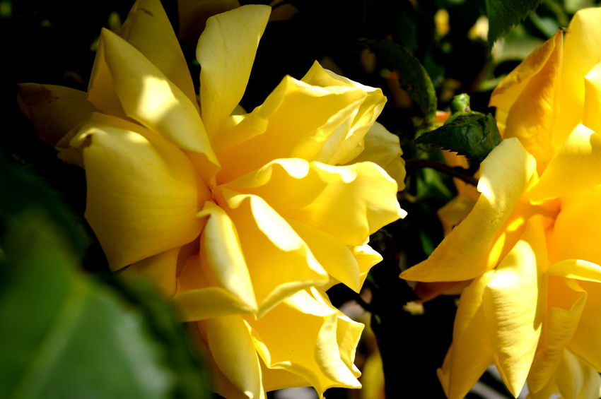 Beauty Beauty In Nature Flowers Nature Nature_collection Pink Roses Summer Summer Feeling Yellow