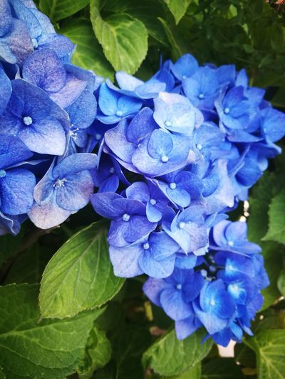 EyeEm Nature Lover EyeEmNewHere EyeEmBestPics Flowers Blue Nature Leaf Hydrangea Freshness Beautyinchaos