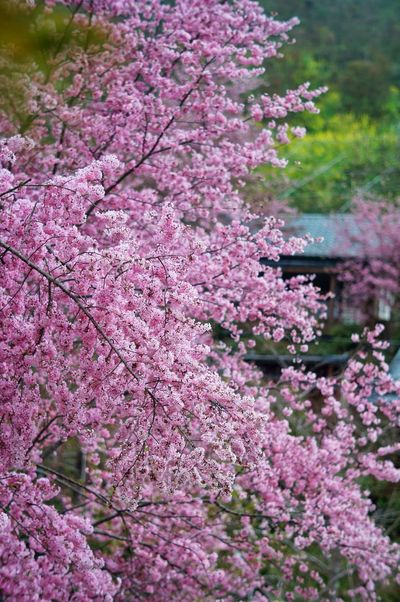 臺灣 恩愛農場 Day Nature Flower Growth Purple Pink Color Nature Tree Freshness Beauty In Nature Fragility Springtime Blossom No People Wisteria Outdoors Plant Blooming Branch Scented Lilac