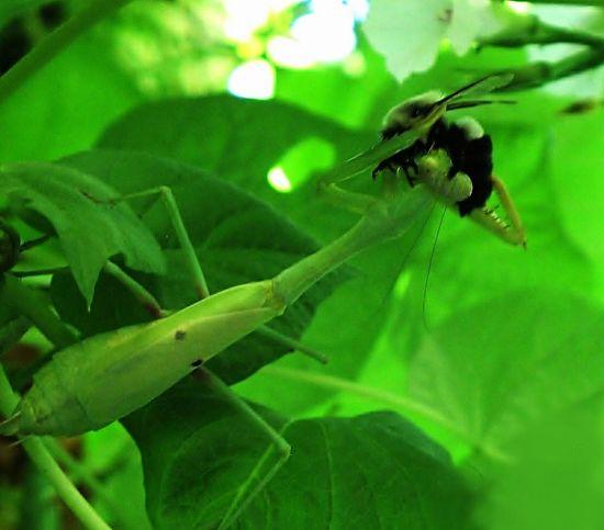 Prayingmantis eating a Bumble Bee