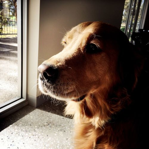 Alertness Animal Brown Dog Domestic Animals Home Portrait Relaxing
