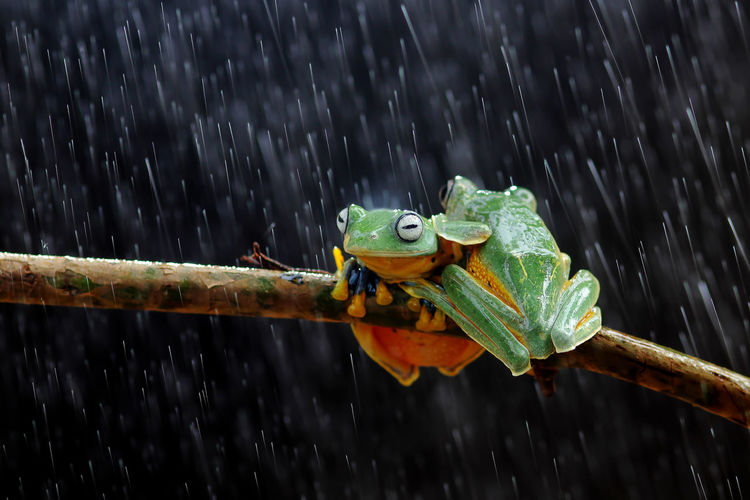 Close-up of frogs on plant stem during rainfall