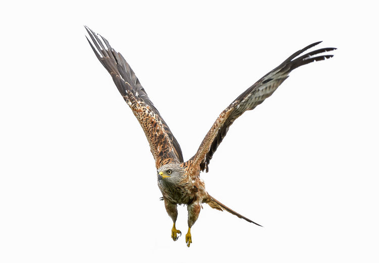 Red Tailed Kite