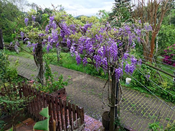 Springtime again. Beauty In Nature Botany Day Exuberance Fences Freshness Glicinia In Bloom Lilac Nature_collection Outdoor Photography Plant Scenics Spring Flowers Springtime Tranquil Scene Walkway