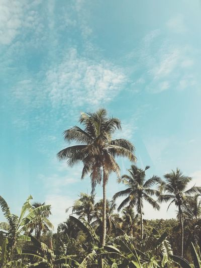 Morning skies Plant Tree Sky Low Angle View Cloud - Sky Growth Nature No People Beauty In Nature Day Tropical Climate Palm Tree Tranquility Backgrounds Outdoors Sunlight Silhouette Leaf Blue Scenics - Nature