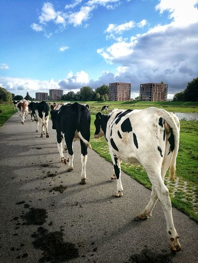 """""""Cow trip in the City"""" Cityscape Holland Netherlands Cows Buildings Hold The Line Domestic Animals Cloud - Sky Livestock Animal Themes Cow Mammal Sky EyeEmNewHere"""