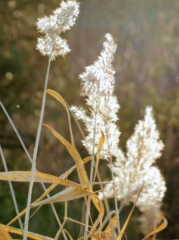 Growth Nature Focus On Foreground Plant No People Beauty In Nature Close-up Tranquility Fragility Outdoors Day Grass Timothy Grass Freshness