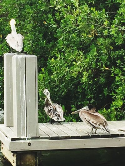 Bird Animal Themes Growth Animals In The Wild Animal Wildlife Day Outdoors Perching No People Nature Indian River Lagoon Pelican