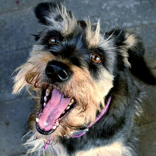 Dog One Animal Pets Animal Themes Sticking Out Tongue Domestic Animals Mouth Open No People Mammal Panting Animal Body Part Protruding Yawning Portrait Close-up Outdoors Day
