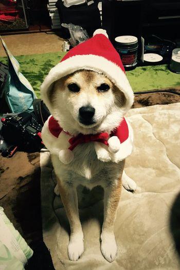 Christmas. あんず しば いぬ Dog