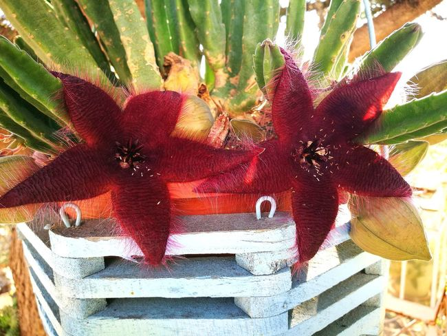 Stapelia Asterias...beautiful flowers of fat plant...🌸🌸🌸🌼🌼🌺🌺🌺🌺🌺 Beauty In Nature Flower Photography Flowrs In Summer Flowers_collection Flowers Of EyeEm Flowers And Insects Beauty In Nature Flower Head Flower Nature Plant Petal Beautiful Colors Beautiful Nature