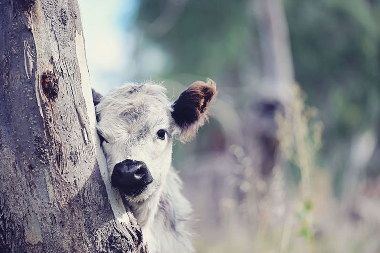 Close-up of calf by tree trunk
