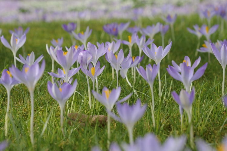 Beauty In Nature Blooming Crocus Crocus Flower Crocuses Day Field Flower Flower Head Fragility Freshness Growth Growth Nature Nature No People Outdoors Petal Plant Purple Spring