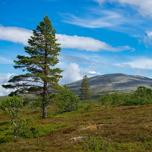 Sonfjället Moutains Sonfjället Mountains Hiking Sweden Scandinavia Summer Plant Sky Cloud - Sky Nature Growth Tree Beauty In Nature No People Day Tranquility Sunlight Outdoors