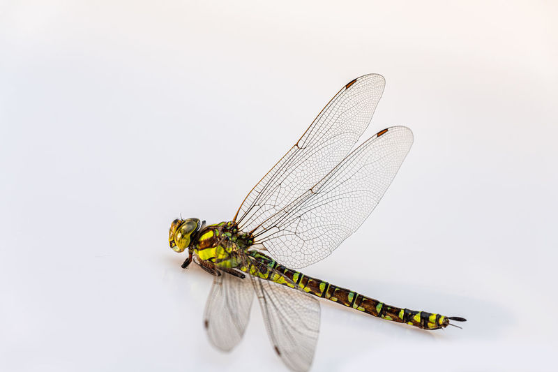 Insect Animal Wing One Animal Invertebrate Animal Animal Themes Animals In The Wild Animal Wildlife Studio Shot White Background Close-up No People Indoors  Dragonfly Yellow Copy Space Nature Focus On Foreground Beauty In Nature Tote Libe Freigestellt Nahaufnahme Flügel Grazil
