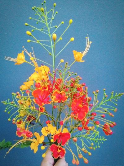 Caesalpiniapulcherrima Flowers