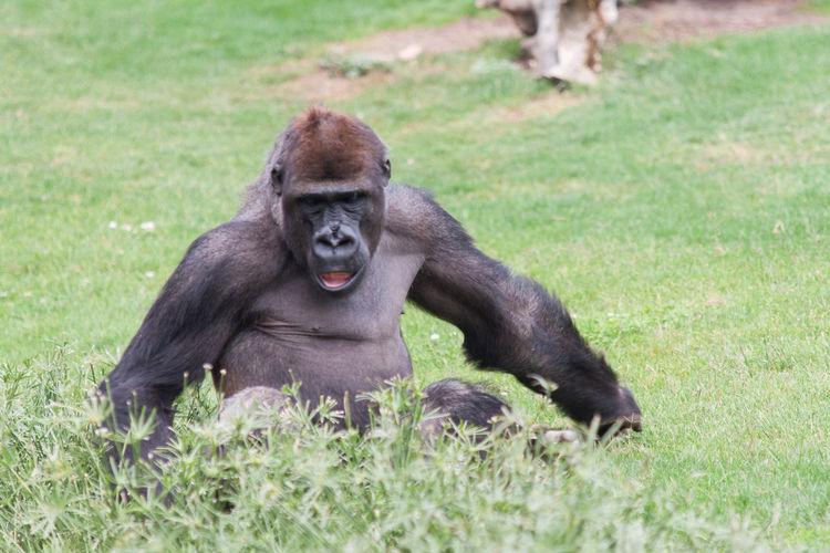 Gorilla relaxing on grassy field