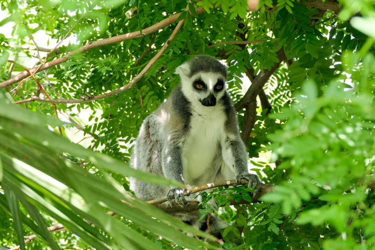 Tree Lemur