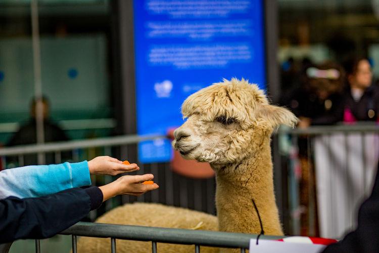 Unrecognizable kids feeding an alpaca