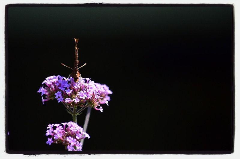 Comma Butterfly Flower & Butterfly Comma Butterfly