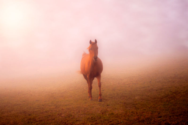 A horse on a pasture in the mist. Animal Themes Animal Mammal Animal Wildlife Domestic Animals Horse Fog One Animal Domestic Full Length One Person Land Livestock Nature Pets Sunset Landscape Motion Field Outdoors Riding Hairstyle Textured Effect Herbivorous Pasture