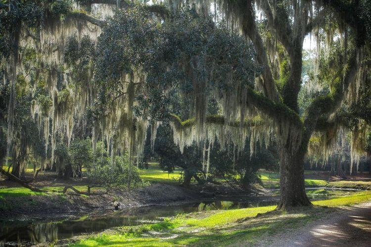 Louisiana Avery Island Outdoors No People Beauty In Nature Tranquility Tranquil Scene Nature Tree Spanish Moss
