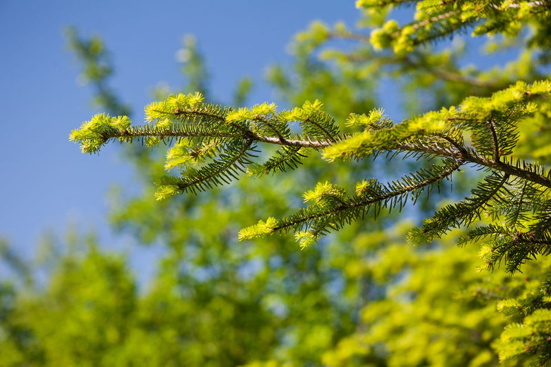 Green coniferous new shoots, plant grow in Poland, Europe, fresh burgeons vibrant color on blue sky in sunny day, horizontal orientation, nobody. Abies Bud Buds Burgeon Close-up Conifer  Coniferous Tree Fir Green Nature No People Picea Plant Shoot Spruce Tree