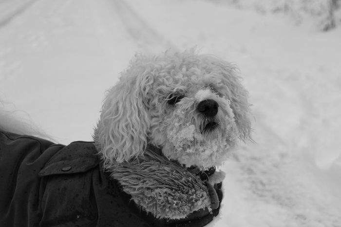 EyeEmNewHere Dog In Snow Dog Coat Blackandwhite Pet Portraits
