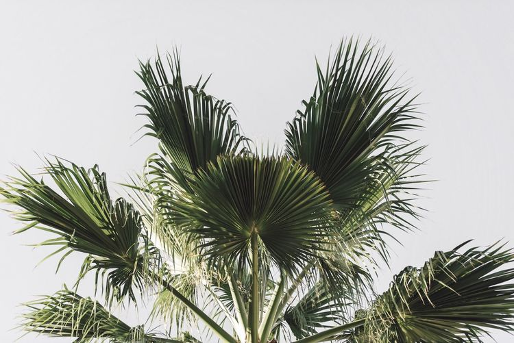 Green Color Growth Clear Sky No People Plant Nature Leaf Low Angle View Day White Background Beauty In Nature Sky Needle Tree Close-up Palm Tree Outdoors Freshness Street Photography Streetphotography Backgrounds