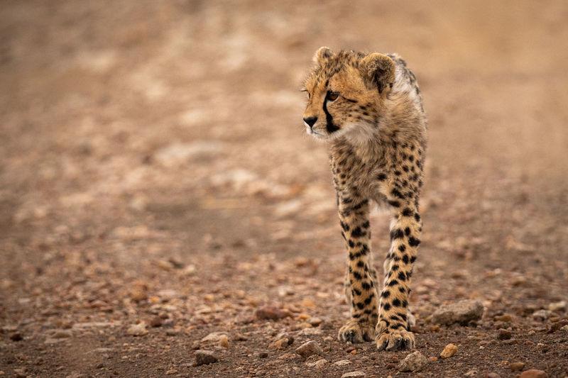 Cheetah on field