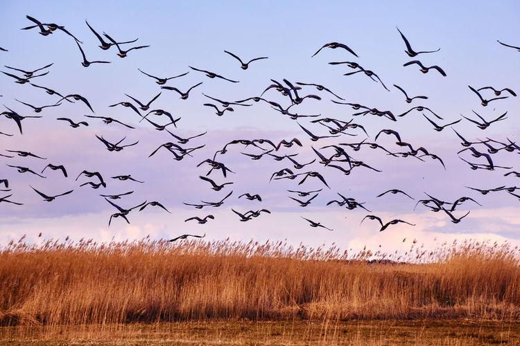 Flock of birds flying against sky during sunset