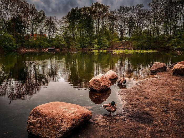 View of ducks on rock by lake