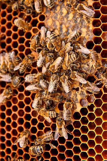 Animal Animal Themes Animal Wildlife Animals In The Wild APIculture Beauty In Nature Bee Beehive Close-up Dry Group Of Animals Hexagon Honey Bee Honeycomb Insect Invertebrate Large Group Of Animals Nature No People Pattern