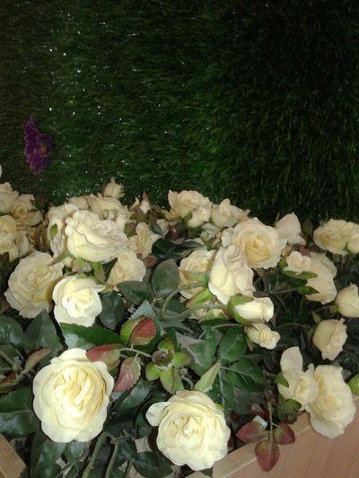 Cream roses. Rosé Roses🌹 Cream Rose Cream Roses Flower