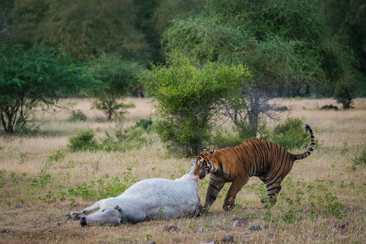 Side view of tiger with dead animal