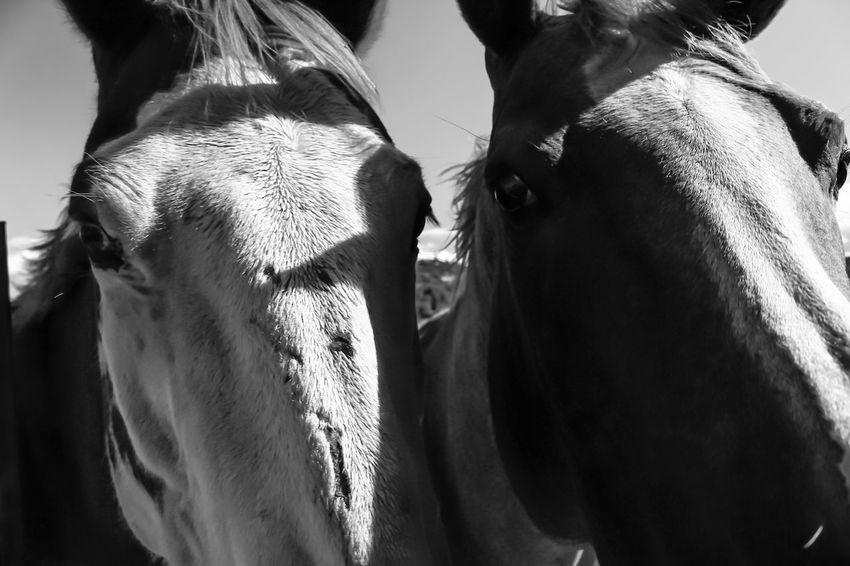 Northern California Diamond Mafia Photography Blackandwhite Photography Lake Shastina C.a Nature Farmland Horses