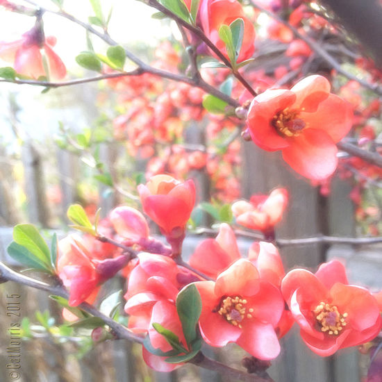 Morning Quince