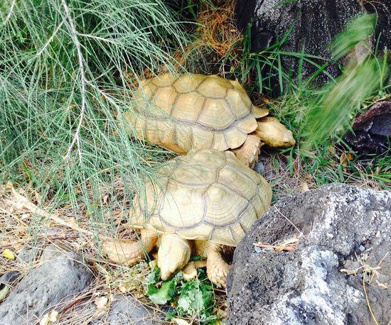 My grandpas sulcata tortoises Outdoors Oahu, Hawaii Sulcata Tortoise Tortoise Two Pets Beautiful Day In Hawaii Nei
