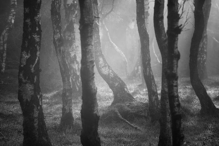 Tree Forest Tree Trunk Forest Fire Wilderness Area Foggy WoodLand Growing Woods Dense Sunrays Fallen Tree