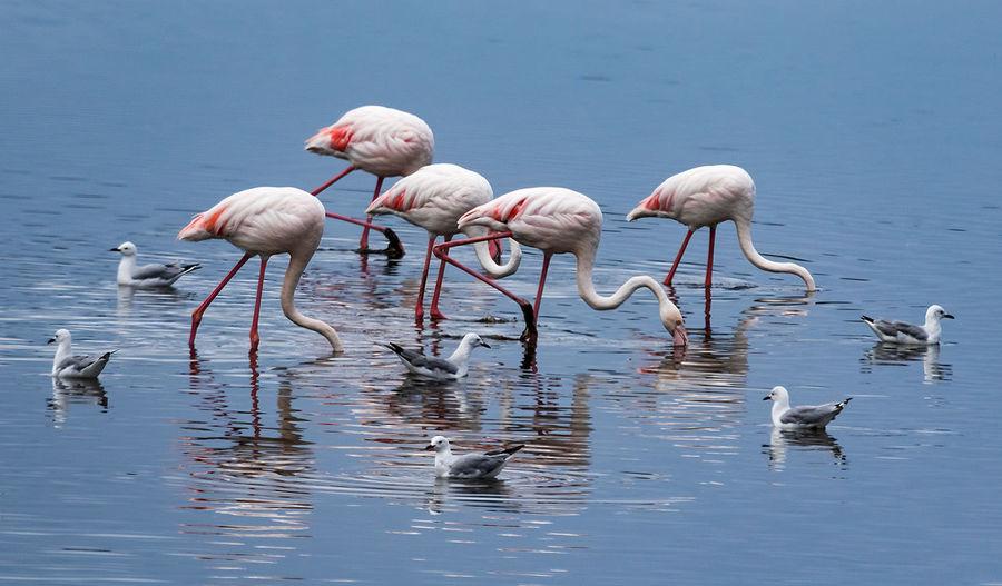 Flamingoes in seagulls in lake