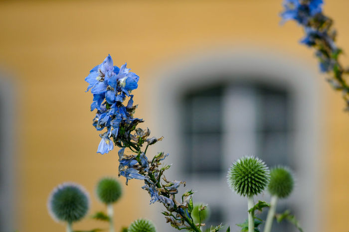 Fenster Im Hintergrund Rittersporn Architecture Beauty In Nature Blau Blooming Building Exterior Close-up Day Flower Flower Head Focus On Foreground Fragility Freshness Growth Hauswand Nature No People Outdoors Plant Selective Focus Tree